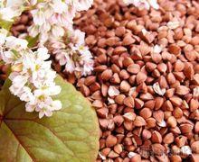 Насіннєву гречку найкраще вирощувати після гороху й соняшнику