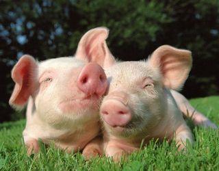 Ціни на живець свиней обганяють сезонні тренди