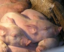Як можна попередити канібалізм у свиней