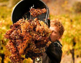 «Масандра» зібрала 17 тис. тонн винограду