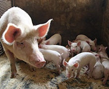 Поголів'я українських свиней зменшилося на 9%