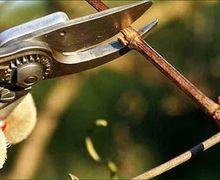 Біопаливо чи органічне добриво: як можна використати зрізані виноградні лози