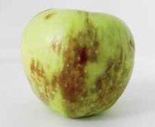 Цьогорічний врожай яблук потребує особливої уваги при зберіганні
