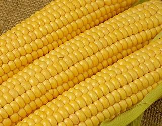 Рентабельність вирощування цукрової кукурудзи становить щонайменше 200%