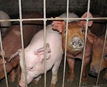 Закупівельна ціна на живець свиней цього тижня сягне 45,4 грн/кг