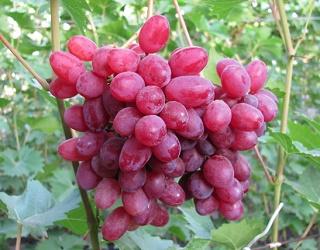 Каховське господарство «Юг» збільшує виноградні насадження