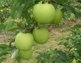 Польські вчені вивели сорт яблук, стійкий до парші