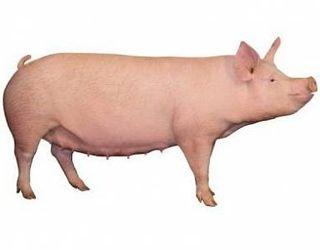 За якою схемою годувати свиноматок після опоросу