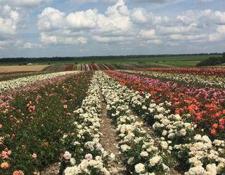 За українські саджанці троянд у Європі готові платити більше, ніж своїм виробникам