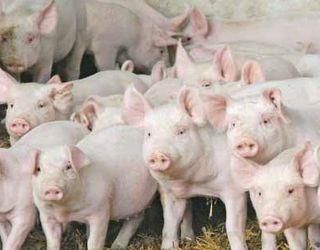 Як змінилися ціни на племенний молодняк свиней з початку року