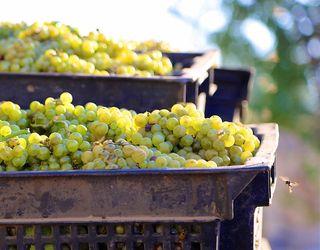 У 2017 році Україна на 7% збільшила переробку винограду на виноматеріали