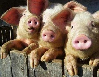 За минулий рік поголів'я свиней в Україні поменшало на 0,5 млн голів