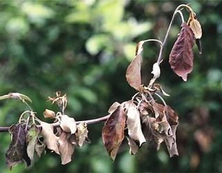 Дефіцит кальцію може призвести до гибелі рослин