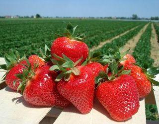 Фермери планують збільшити плантації під ремонтантною суницею садовою