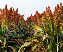 Переваги вирощування сорго для фермера: французький досвід