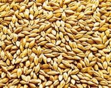 Найперспективнішими зерновими для України є кукурудза і ячмінь