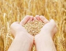 Україна вп'ятеро наростила експорт органічного жита
