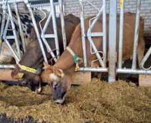 Сумська ферма займається селекцією корів для роботизованого доїння