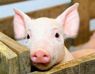 Ціни на живець свиней зросли на 3%