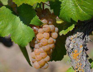 Виламування грон збільшує врожайність винограду