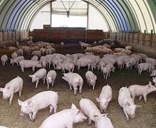 В якому вигляді має бути клітковина в раціоні свиней