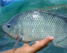 Названо види риб, які найвигідніше вирощувати в Україні