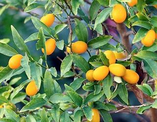 На Київщині вирощують кумкват, манго та інжир