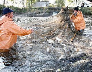 Україна може виробляти 98 тис. тонн продукції аквакультури