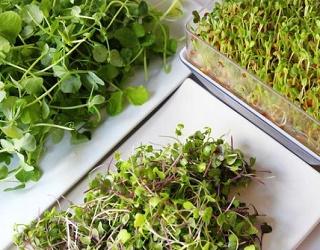 Вирощування зелені мікрогрін окупається за два місяці