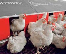 В автоматичних гніздах отримують більшу кількість кондиційних яєць