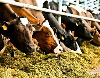 «Астарта» в 2017 році наростила виробництво молока на 3%