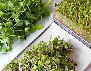 Технологія вирощування зелені мікрогрін досить проста