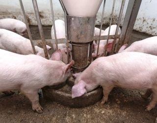 Введення ліків із кормом зазвичай практикують для свиней на дорощуванні та відгодівлі