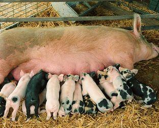 Фіксоване утримання свиноматок провокує їх до задушення поросят