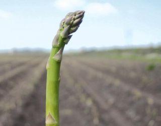 Ґрунт півдня України – оптимальний для вирощування спаржі