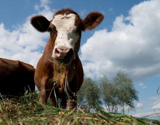 Сімейна ферма на Львівщині збільшить поголів'я до 30 корів