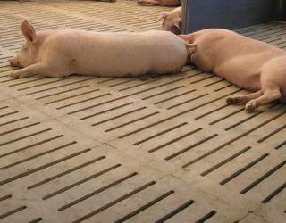Холодна підлога і протяги спричиняють у свиней паралічі задньої частини