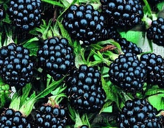 Головний недолік вирощування ожини – недостатня морозостійкість
