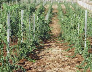 Для молодих виноградників важливим є формування куща й встановлення опор