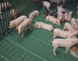 Пластикова щілинна підлога зменшує травматизм ратиць у свиней