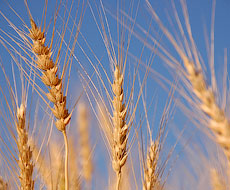 Світове виробництво кукурудзи і пшениці цього року зменшиться