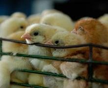 Тимол у кормі для птиці має захисну дію проти сальмонели