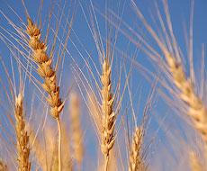 Сумщина засіє ярими зерновими майже 440 тис. га
