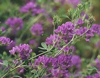 Люцерну не можна вирощувати на кислих ґрунтах