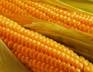 Зростання споживання м'яса у світі призведе до збільшення попиту на кукурудзу