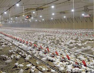 Для контролю однорідності стада птицю зважують щотижня