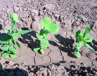 Обприскувати посіви гороху слід у фазі 3-6 листків