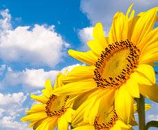 Ознаки ураження соняшнику іржею