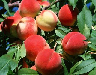 Виробництво персика в Україні збережеться на рівні 20 тис. тонн на рік