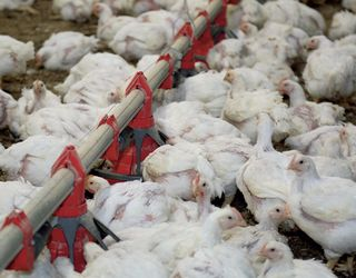 В американських птахогосподарствах не практикують антибіотики з профілактичною метою